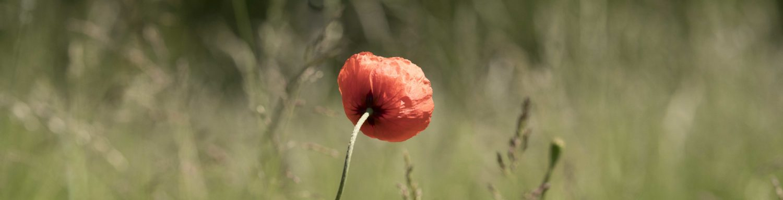 Blume-00540