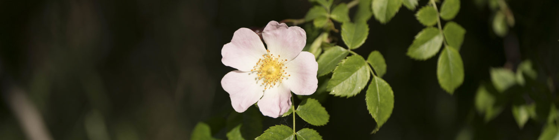 Blume-00564